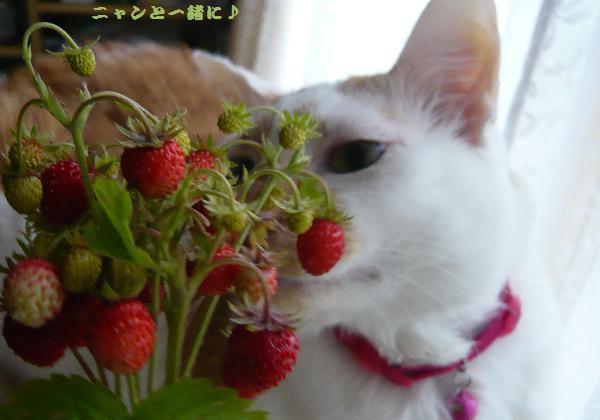 苺komo062515
