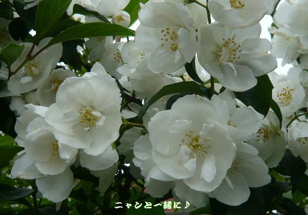 白花木062715