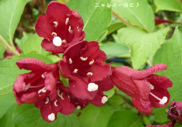 赤花木062715