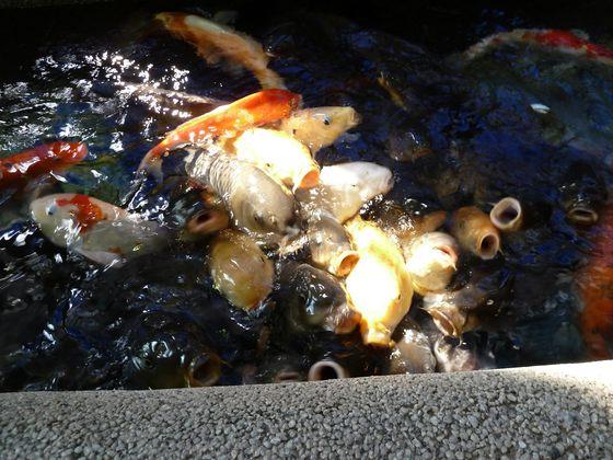 エサを求めて群がる鯉