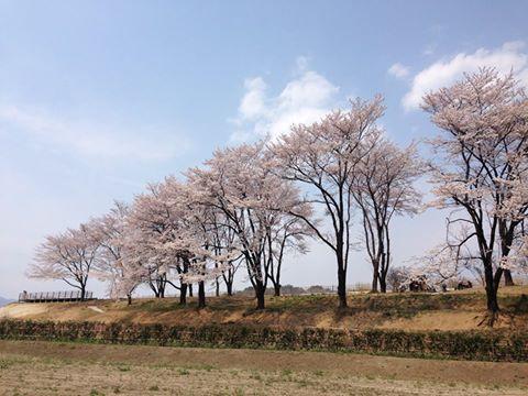 台ヶ原の桜