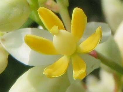 ナンテンの花 (2)