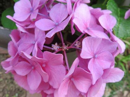 アジサイの真花 (1)