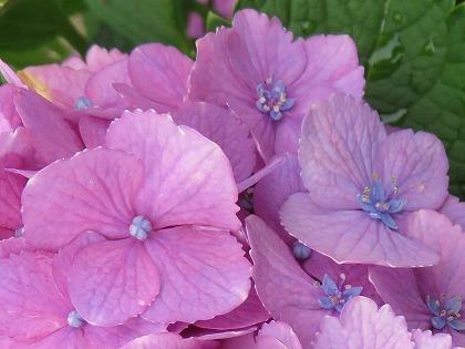 アジサイの真花 (3)