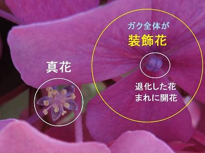 装飾花と真花