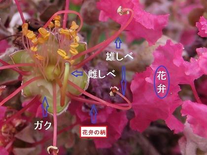 サルスベリの花 (1)