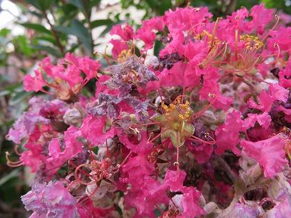 サルスベリの花 (2)