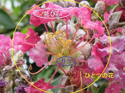 サルスベリの花 (3)