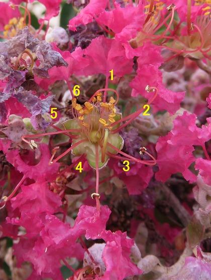 サルスベリの花 (4)