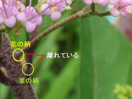 コムラサキの特徴
