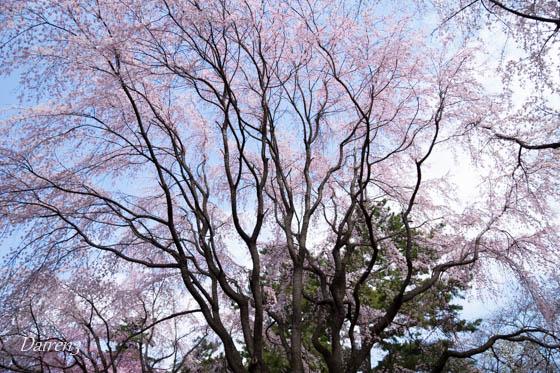 敷島公園のしだれ桜