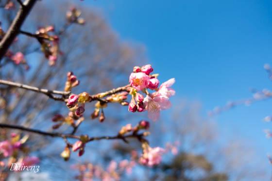 咲き始めた河津桜