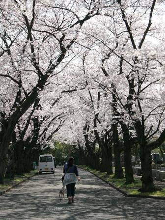 0331桜_02
