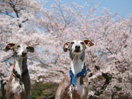 0331桜_04