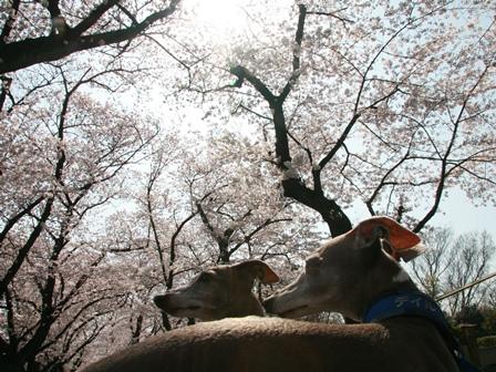 0331桜_03