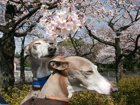 0331桜_05