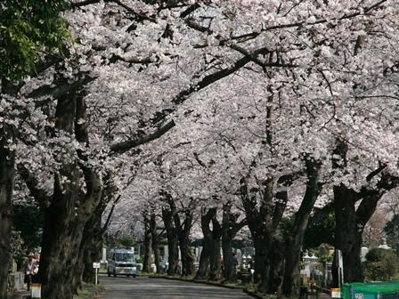 0331桜_01