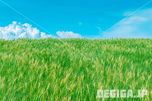 風にそよぐ麦の穂と湧き上がる夏雲