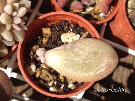 ブルーラグーン 葉挿し芽 201504