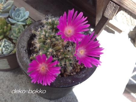 紫晃星 開花 201505-2