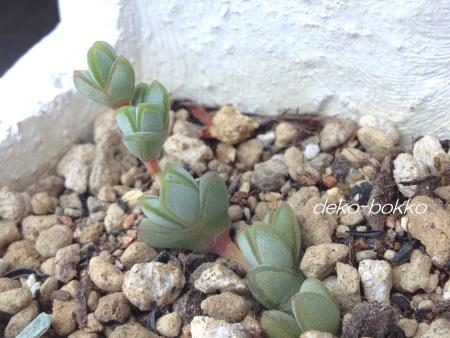 碧魚蓮 20150510-3