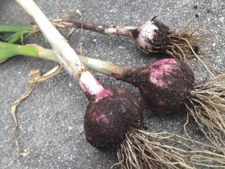 ちいさなニンニク収穫 201505