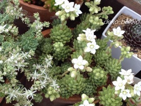 グラウコフィラム ウインクレリー 開花 201505
