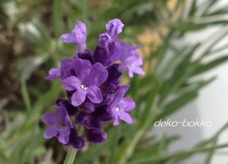 イングリッシュラベンダー 開花 201505-2