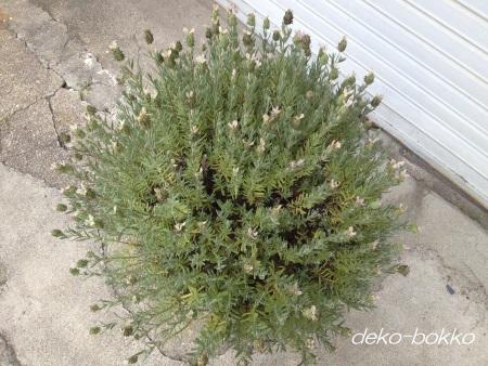 フレンチラベンダー鉢植え 剪定前 201506
