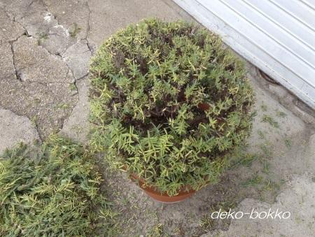 フレンチラベンダー鉢植え 剪定中 201506