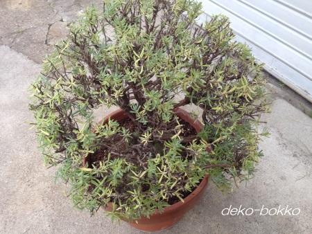 フレンチラベンダー鉢植え 剪定植替え完了 201506