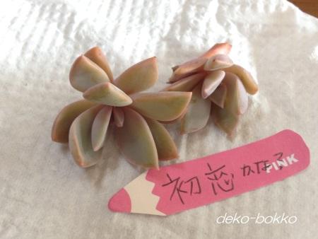 hamin産 初恋 201506