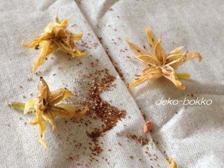 花うらら 種 採取 201506