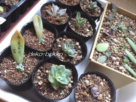 satommy産 葉挿し植え付け 201506-2