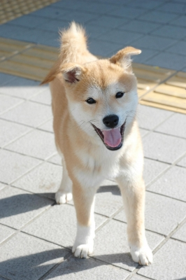 shibamaru2.jpg