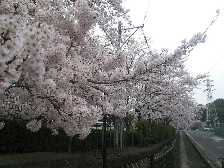 27年桜 1150