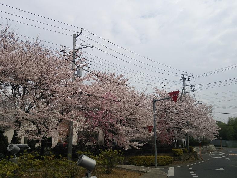 27年桜 1121