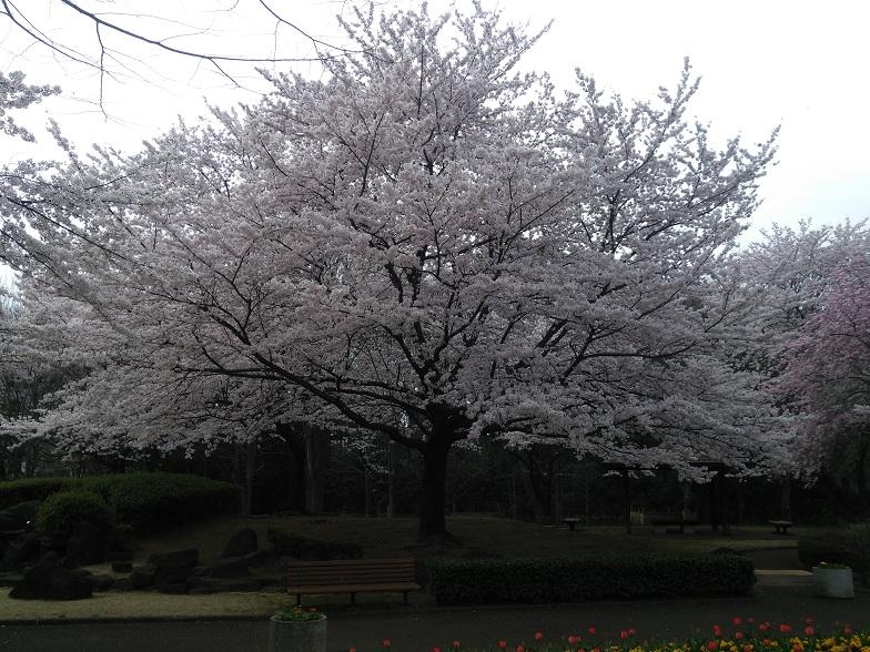 27年桜 1139