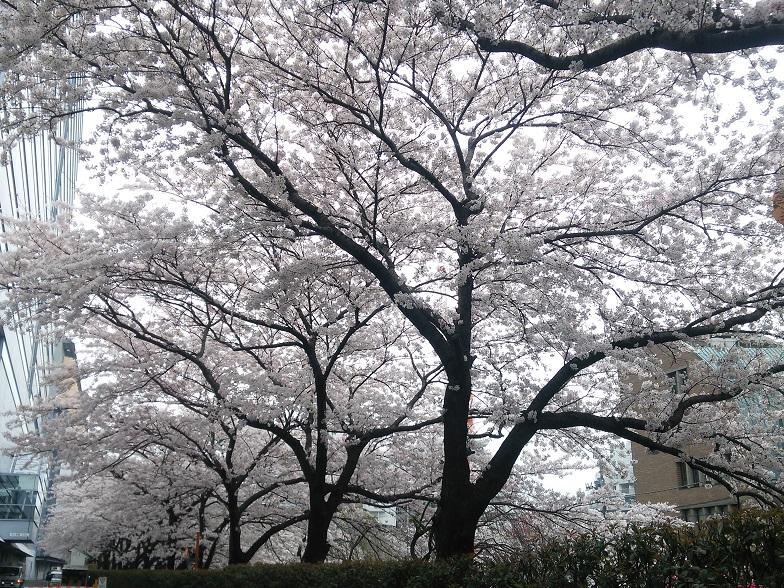 27年桜 1169
