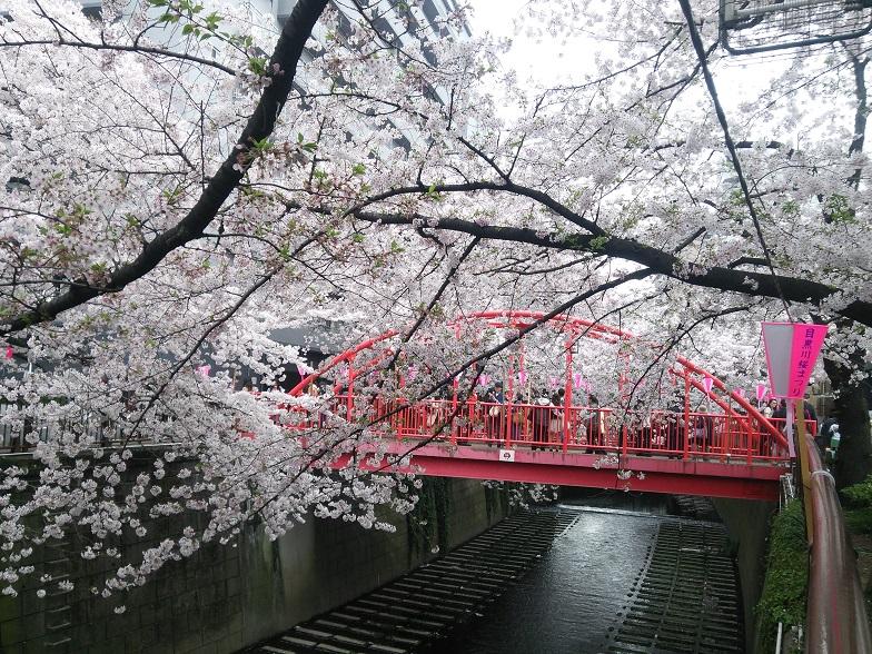 27年桜 1211