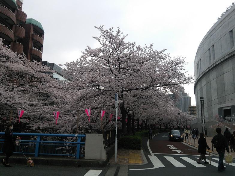 27年桜 1219