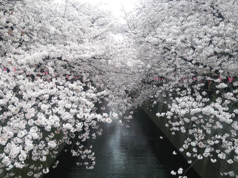 27年桜 1194
