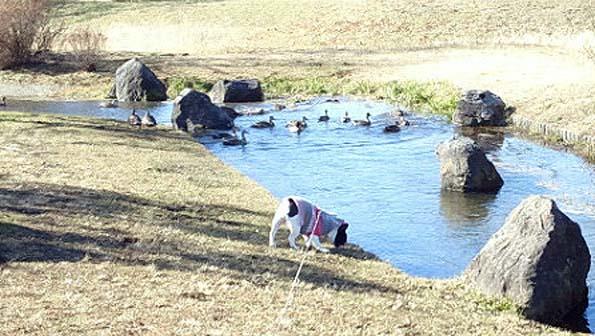 20150113 水辺公園 モモとカモ 21㎝11030001