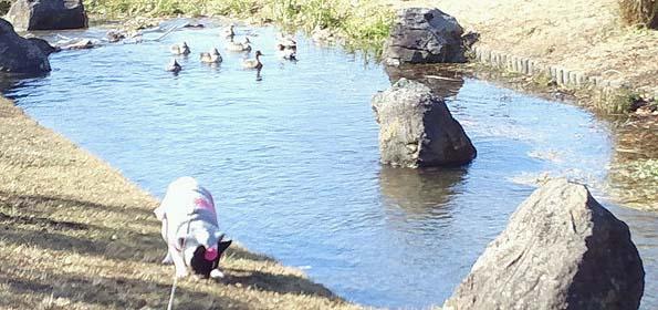 20150113 水辺公園 モモとカモ 21㎝11030002