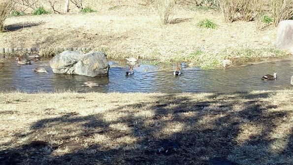 20150113 水辺公園カモ 21㎝11010000