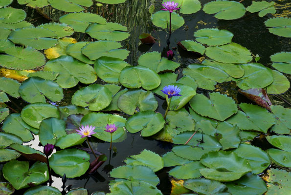flower lotus 21cm DSC07439
