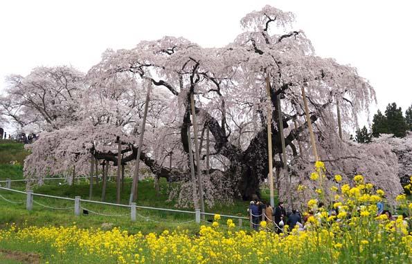 20150417 三春滝桜 21㎝DSC01307