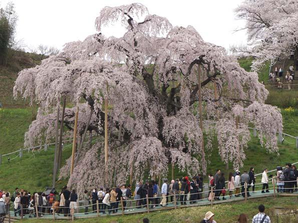 20150417 三春滝桜 21㎝DSC01321