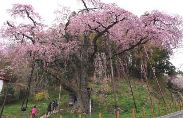 20150417 地蔵桜 21㎝DSC01300