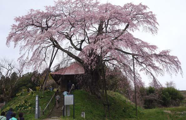 20150417 不動桜 21㎝DSC01274